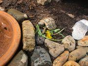 3-jährige Griechische Landschildkröten abzugeben THB