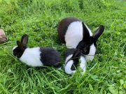 Holländer Kaninchen schwarz weiß