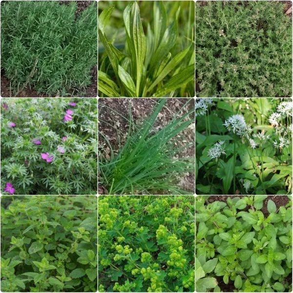 Kräuter Küche Garten Pflanzen Ableger