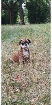 Englische Bulldogge Hunde Kaufen Verkaufen Auf Quoka De