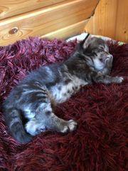 Wunderschöne Maine Coon Kitten Mix