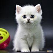 Ich werde das Britisch Kurzhaar-Kätzchen