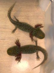 Axolotl Wildlinge auszugsbereit Versand möglich
