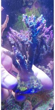 Meerwasser lila Acropora