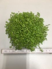 Bubikopf Soleirolia soleirolii ca 15cm
