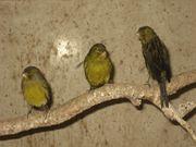 Kanarienvögel Kanarien Vögel schwarz gelb