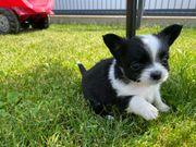Nur noch ein LH-Chihuahua Rüde