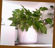 Mehrere Zimmerpflanzen abzugeben