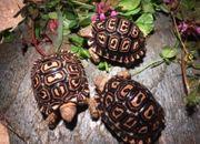 Pantherschildkröten Pardalis Pardalis