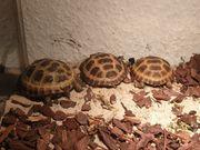 Vierzehen Landschildkröten