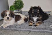 Vorwitzige Malteser x Yorkshire Terrier