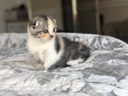 Scottish Fold und straight kittend