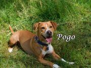 Beagle-Mix Pogo sucht eine aktive