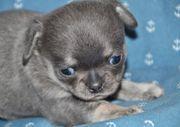 Welpe Chihuahua in Blue tan