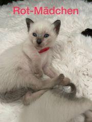 Tolle Siam Seal Point kitten