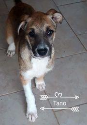 Freundlicher Mischlings Welpe Tano