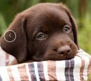 Labradorwelpe w braun