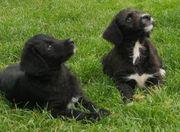 Appenzeller Sennenhund - Königspudel - Appendoodle Welpen