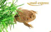 Lepidobatrachus laevis - Budgetts Frosch