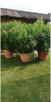 3 wunderschöne riesige gepflegte oleander