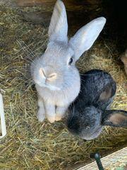 Kaninchen grau-blau abzugeben Männchen und