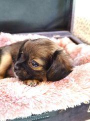Chihuahua Mädchen