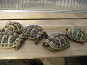 Biete Griechische und Maurische Landschildkröten