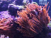 Meerwasser Korallen Ableger Kupferanemone