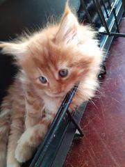 Bezaubernde reinrassige Mainecoon Kitten