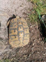 adulte testudo hermanni boettgeri landschildkröten