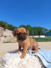 Puggle x Französische Bulldogge Edelmix