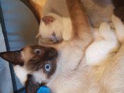 Siam Heilige Birma Kitten Abgabe