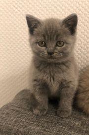 BKH Kitte Blue Lilac White