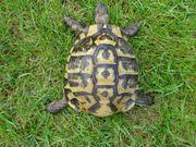 Griechische Landschildkröten -Zuchtgruppe-
