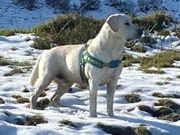 Deckrüde Labrador weiß mit ZZL