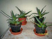 Verkaufe Aloe - Vera Stöcke um