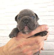 Reinrassige Französisch Bulldogge