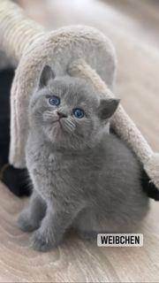 BKH Kitten Britisch Kurzhaar grau