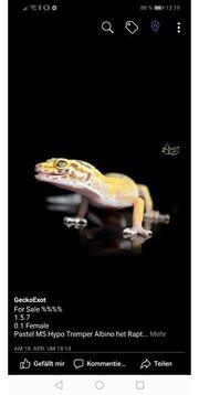 leopardgecko Pastel Albino MS Female