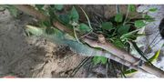 Wassseragame Agame Reptil Echse
