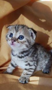 Zuckersüße Scottish Fold Bengal Kitten