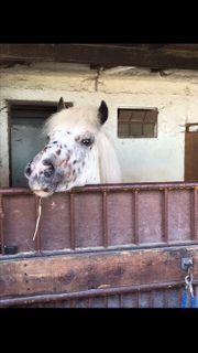 Suche Reitbeteiligung für 5-jährigen Pony-Wallach