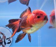 KOI 13 Anz 61 2020 Goldfisch -