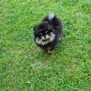 Pomeranian Boo Rüde