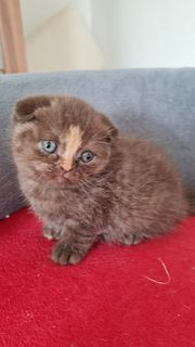 Scottish Fold Bkh mix Jungs