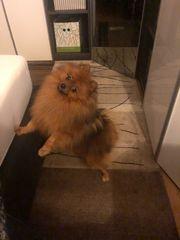 Erfahrener Zwergspitz Pomeranian Deckrüde KEIN