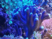 Stylophora pistillata Korallen Ableger für