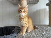 Maine Coon Kitten Kater