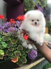 Pomeranian Welpe zu vergeben