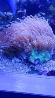 Meerwasser korallen Ableger und Zubehör